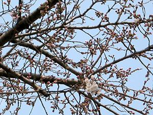 Sakura_2008_0326