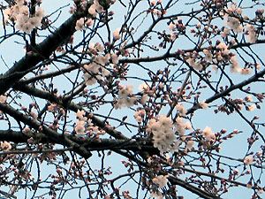 Sakura_2008_0328