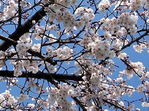 Sakura_2008_0331