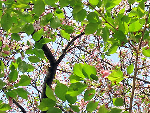 Sakura_2009_0413