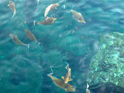 Anbo_fish