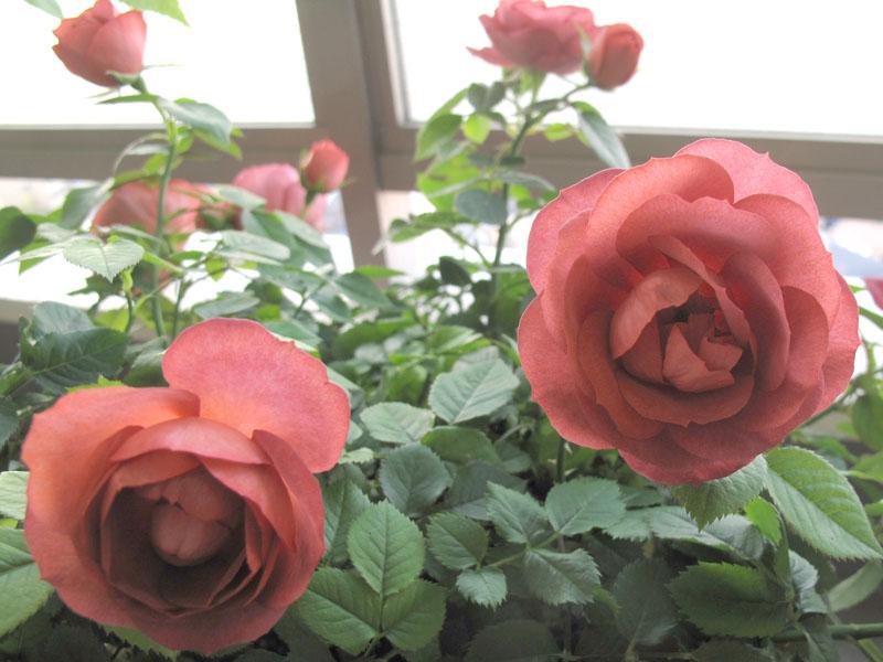 Rose1_120523