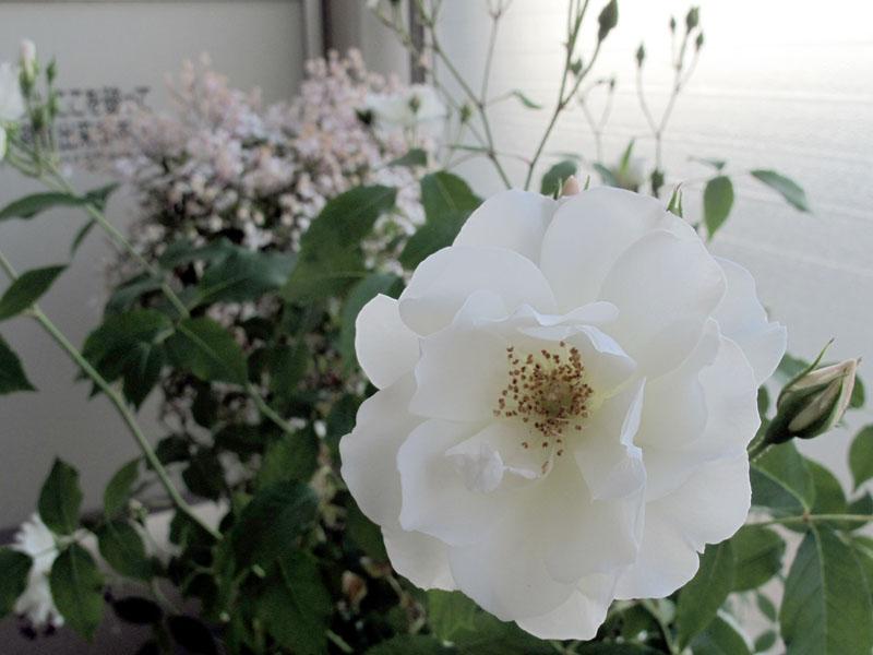 Rose2_120523