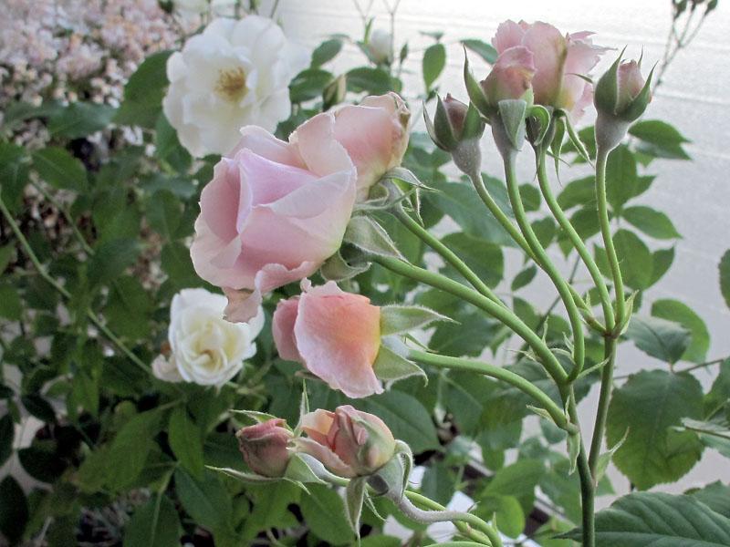 Rose3__120523