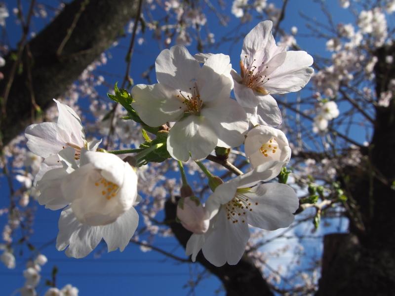Sakura140331