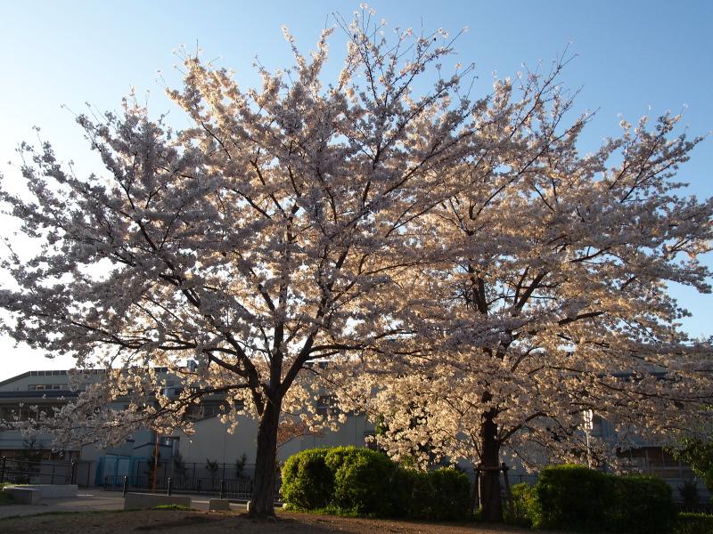 Sakura1404031