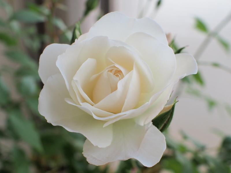 Rose1405131