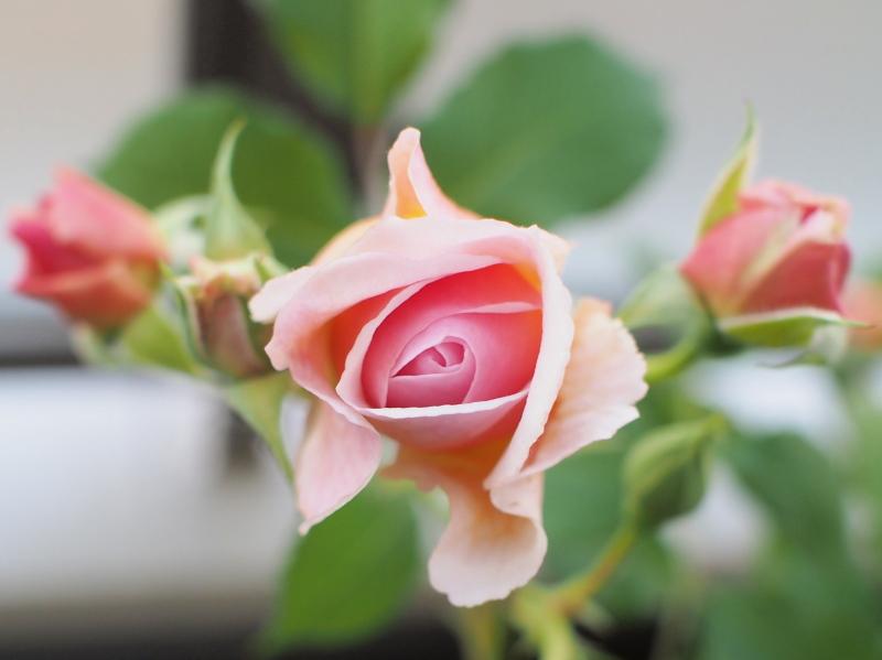Rose1405133