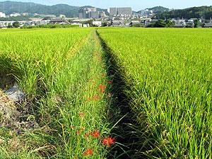 Higanbana2006