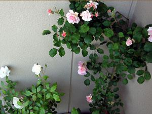 Rose2007