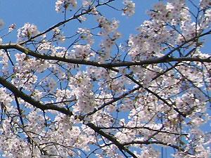 Sakura_2007_2
