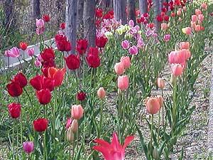 Tulip20061