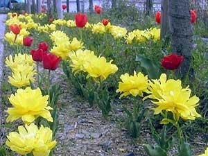 Tulip20062