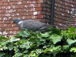 Uk_pigeon